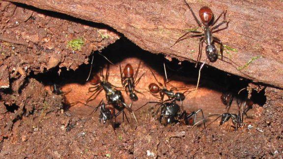 کُلُنی مورچهها