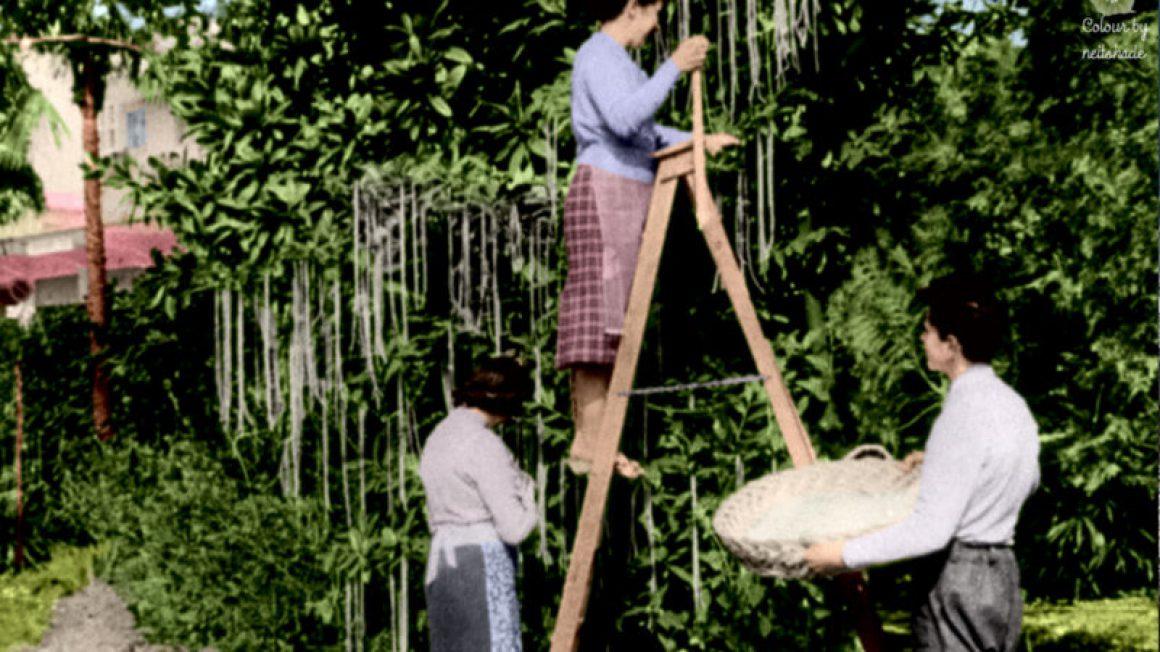 دروغ اول آوریل درختان ماکارونی
