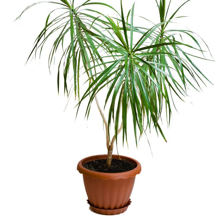 10 گیاه تمیزکننده هوا-دراسانای پرچمی