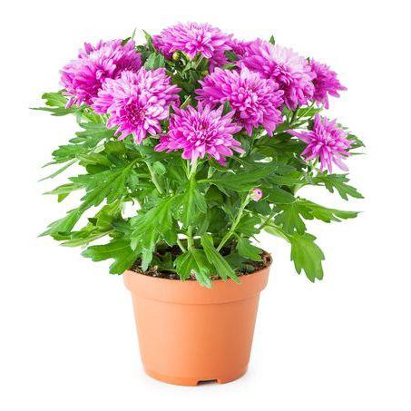10 گیاه تمیزکننده هوا-داوودی