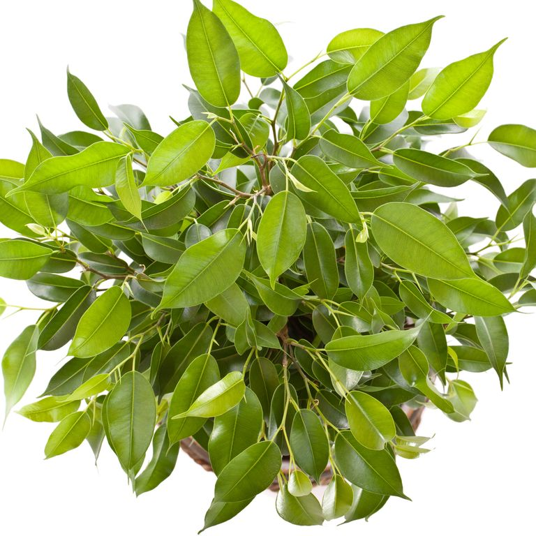 10 گیاه تمیزکننده هوا-انجیر برگریز