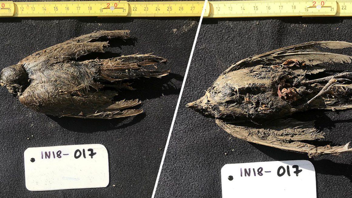 فسیل پرنده 46000 ساله منجمد شده در سیبری